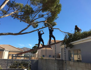 Maintenance: Tree Felling Gordon's bay
